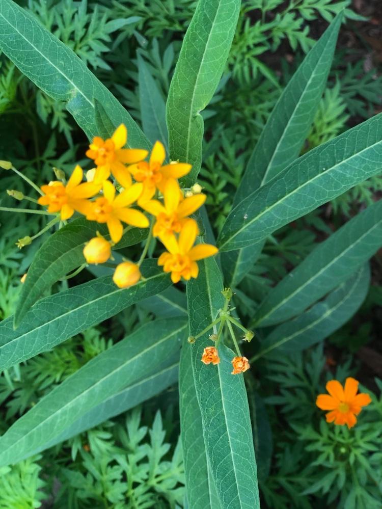 milkweed for butterflies