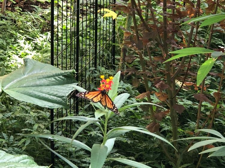 monarchs appear