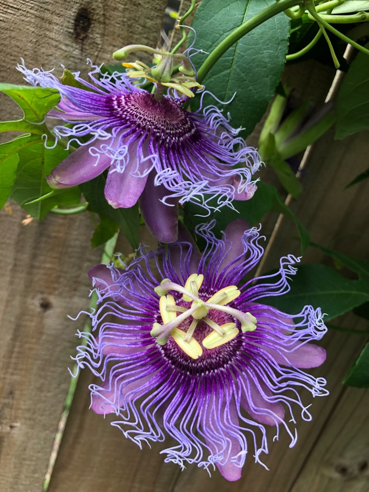 passion vine for butterflies