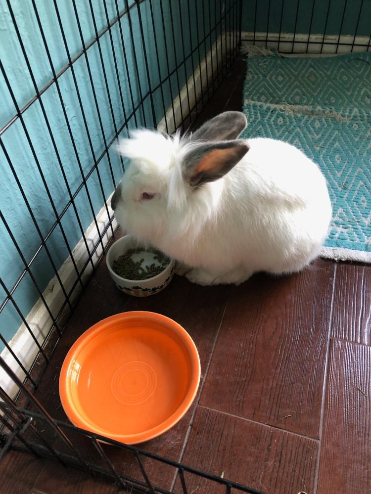 foster and adopt rabbit, Swayze