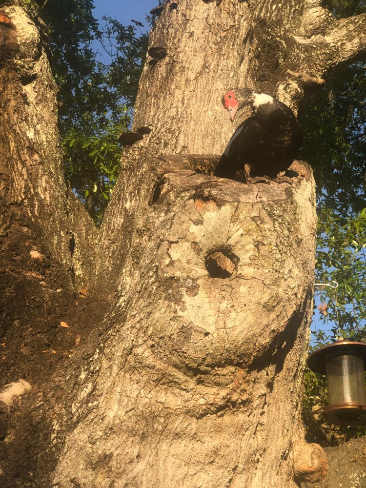 duck lays eggs in hollowed tree branch