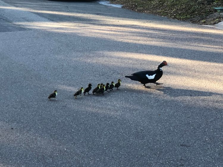 ducklings hatch and make way to lake down the street